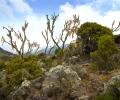 Végétation entre Machame Camp à Shira Camp ( 3000 - 3840 m d'altitude) - Ascension du Kilimandjaro - Tanzanie