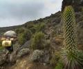 Lobelia deckenii - De Machame Camp à Shira Camp ( 3000 - 3840 m d'altitude) - Ascension du Kilimandjaro - Tanzanie