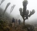 Séneçons géants de Shira Camp (3840 m) à Barranco Camp (3950 m) - Ascension du Kilimandjaro - Tanzanie