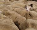 Moutons - Lozère